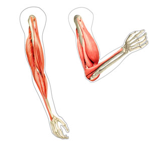 biceps tendinopathy muscles